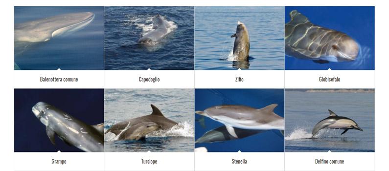 cetacei nel Mediterraneo